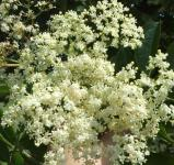 An image of Elderflower and Gooseberries